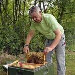 Ganz langsam und vorsichtig kann Uwe Alpert eine Bienenwabe aus der oberen Zarge herausziehen. Foto: BSM