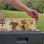 Die Bienen lassen sich nicht stören und bauen fleißig weiter. Foto: BSM