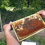Die dunklen, verdeckelten Waben sind Brutwaben. Darin wachsen die Larven heran, bis sie als Biene schlüpfen. Foto: BSM