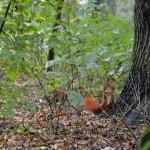 Eichhörnchenalarm! Die puschligen Roten flitzen rund um das Wirtshaus umher. Foto: BSM