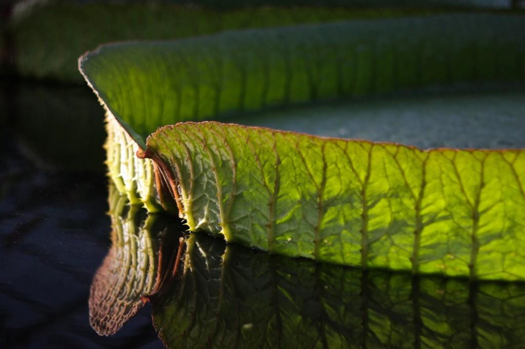 Pflanzen aus der ganzen Welt gibt es im Botanischen Garten zu bestaunen. Hier ein Seerosenblatt. Foto: BSM/Gerald Grote