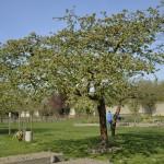 Nach vielen Jahren werden die Bäume zu prächtigen Schattenspendern. Foto: BSM