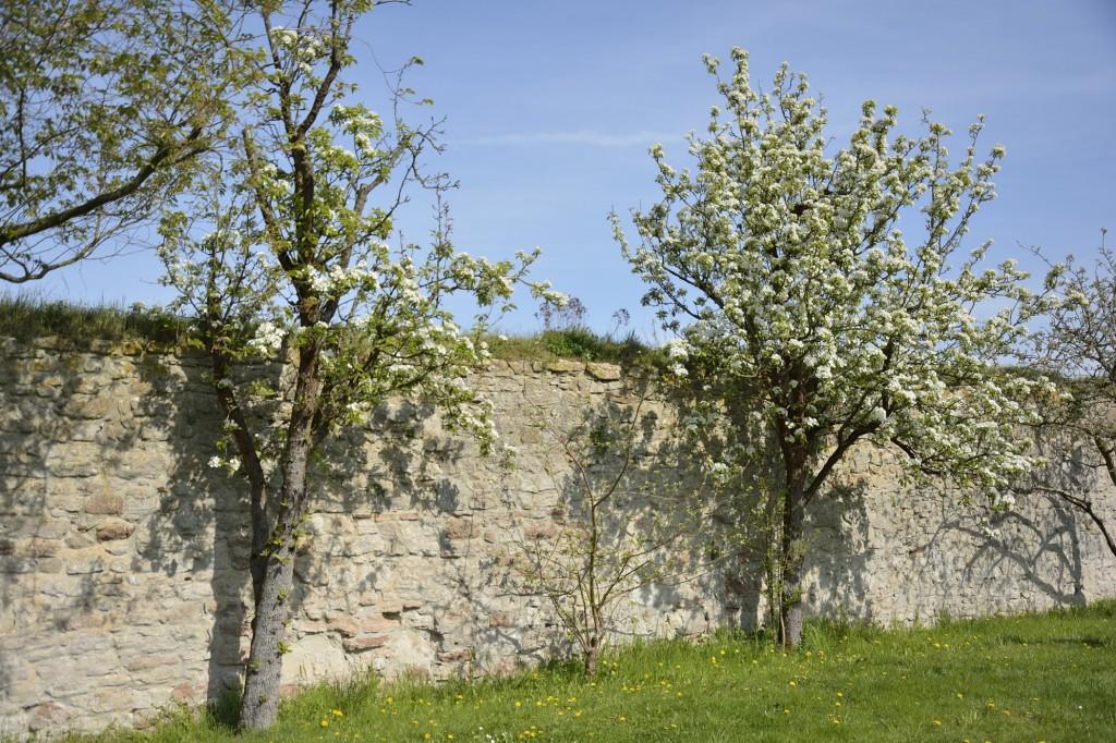 Herrlich blühende Apfelbäume empfangen im April die Besucher. Foto: BSM