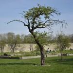Einen alten Baum verpflanzt man nicht. Foto: BSM