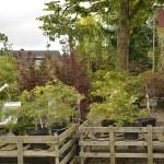 Vielfältige Ahorn-Arten gibt es in der Geitelder Baumschule. Foto: BSM