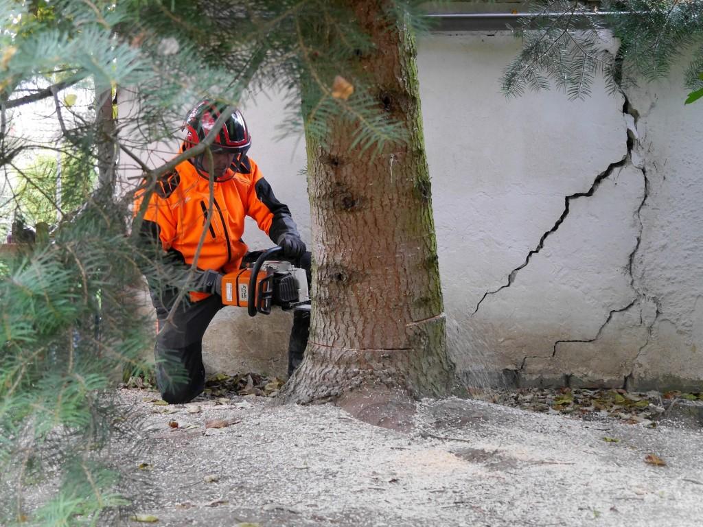 Mit einem glatten Schnitt wird der Baum gefällt. Foto: BSM