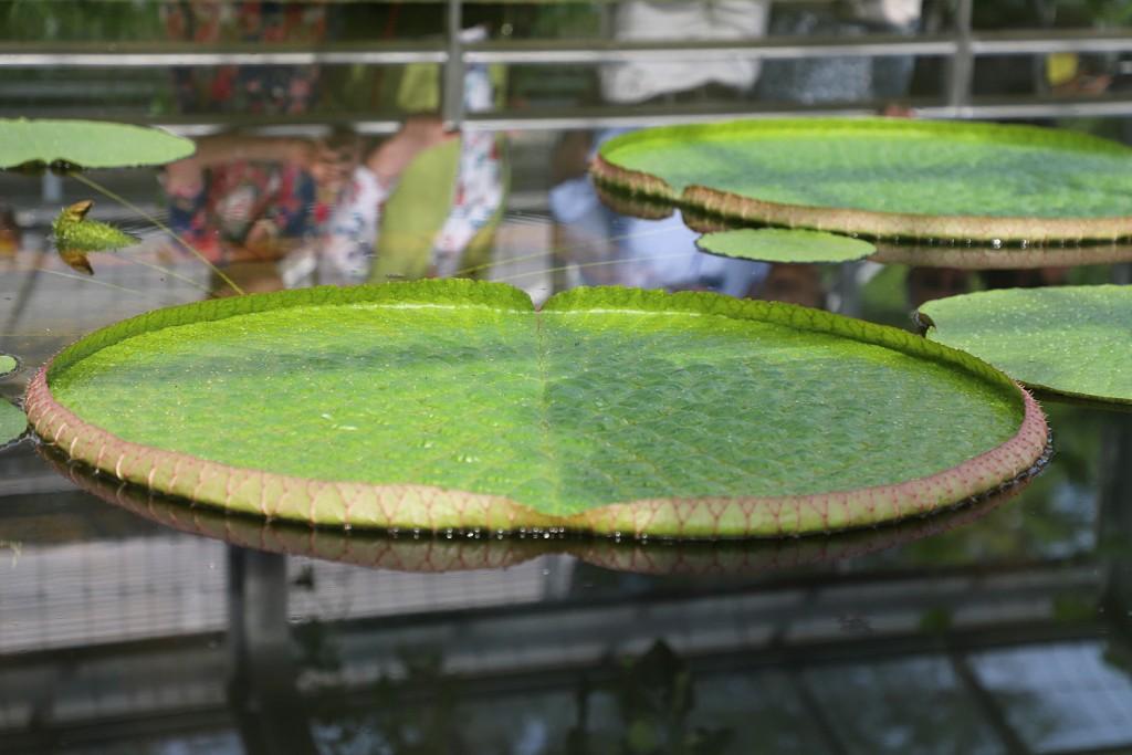 Victorias Blätter sind jetzt zwar noch nicht ausgewachsen, aber schon eine wahre Pracht. Foto: Marisol Glasserman/TU Braunschweig