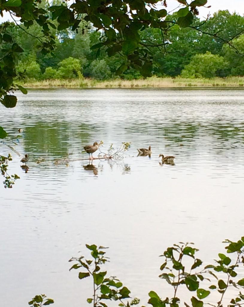 Dabei planschen die Enten doch im Teich und nicht auf dem Radweg. Foto: BSM.