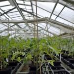 Tomaten, Jungpflanzen, Gewächshause