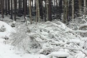 Verschneite Äste im Harz.