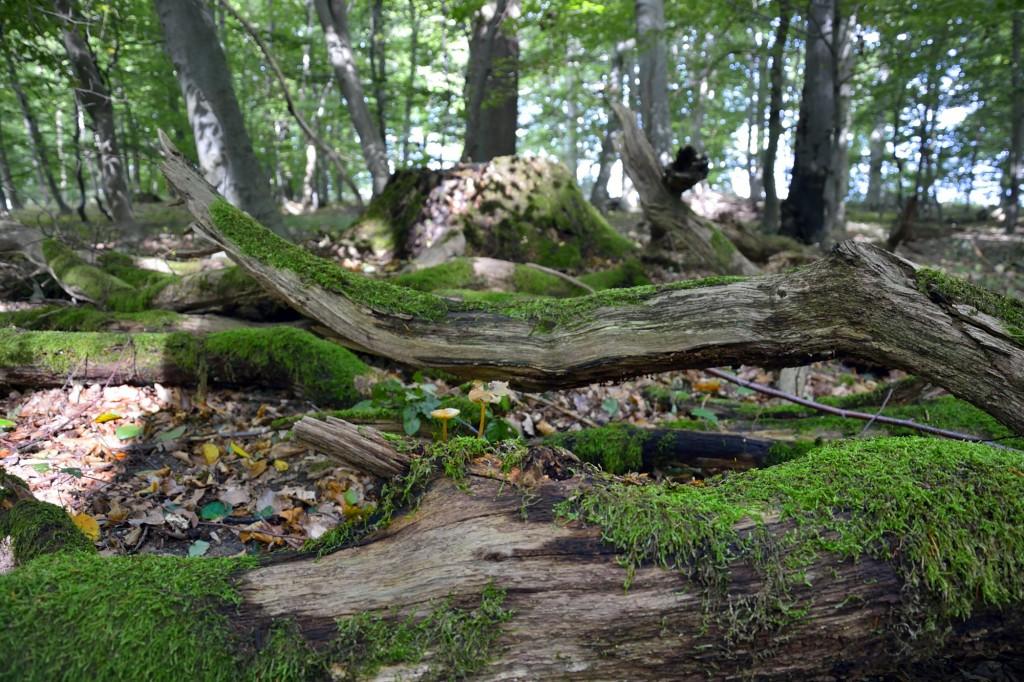 Im Vordergrund ein bemooster Baumstamm, der umgestürzt ist. Im Hintergrund stehen verschiedene Bäume, das Licht fällt in Streifen auf den laubigen Waldboden.