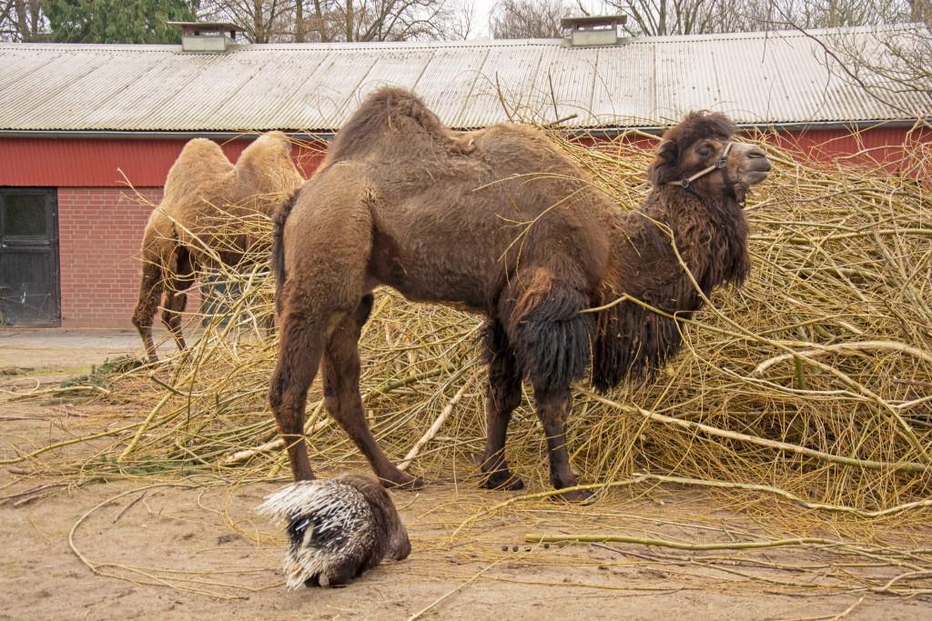 Ein Kamel vor einem Heuhaufen, davor ein Stachelschwein.
