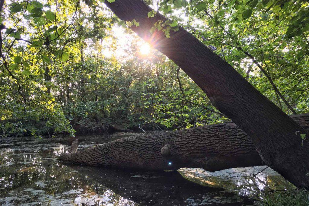 Ein umgefallener Baum liegt im Wasser der Wabe. Die Sonne bricht durch den Wald im Hintergrund.