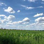 Untere Hälfte ein grünes Maisfeld, obere Hälfte blauer Himmel mit weißen Schäfchenwolken. Am Horizont ist ein Dorf erahnbar.