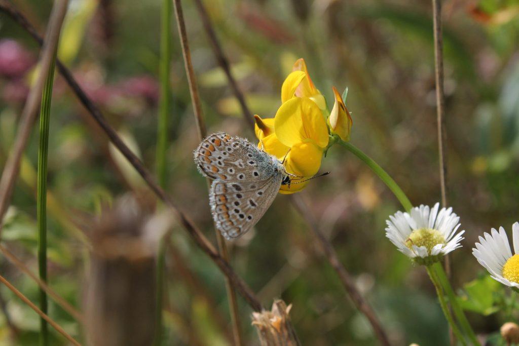 Nahaufnahme eines Schmetterlings auf einer gelben Blüte